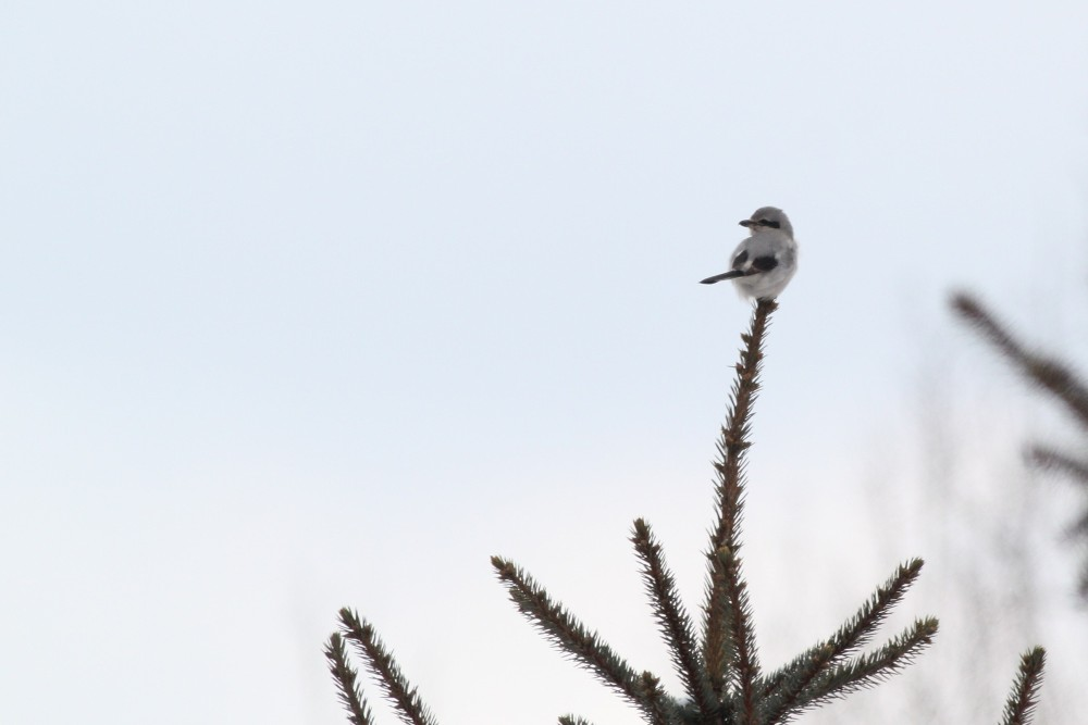 Northern Shrikes are always a pleasant surprise, and this adult type bird was quite a treat to see...even though it only stayed in view for a few seconds. (Photo by Alex Lamoreaux)