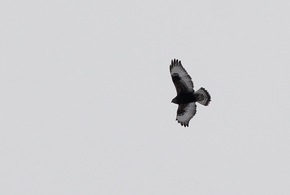 This dark type adult Rough-legged Hawk was very active and never sat still for more than a few seconds, but I was able to get this one flight shot. (Photo by Alex Lamoreaux)