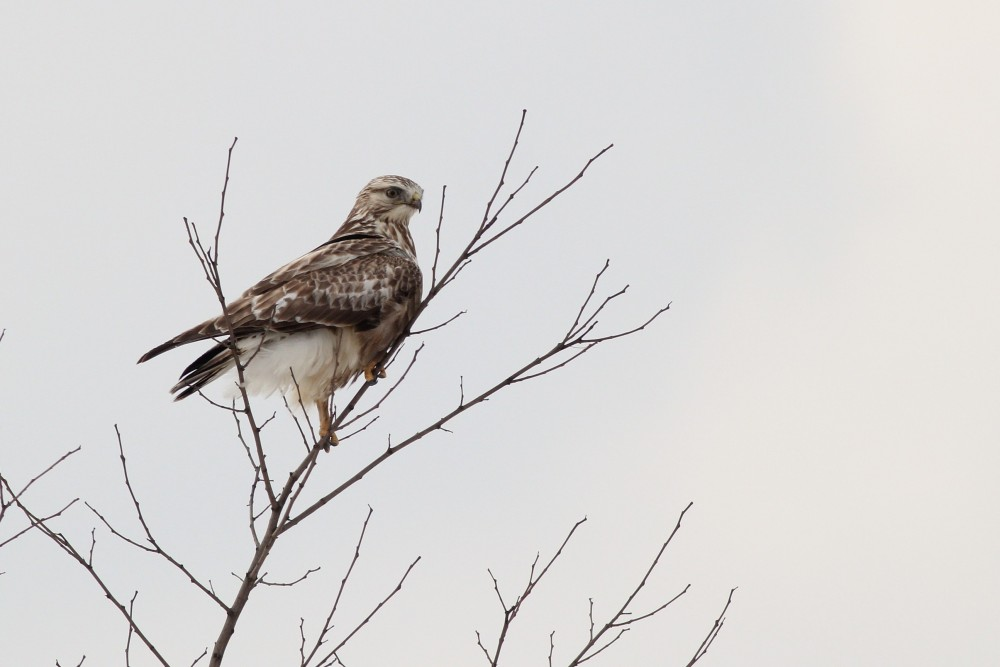 This light type immature Rough-legged Hawk was the last raptor we found on our WRS route today. (Photo by Alex Lamoreaux)