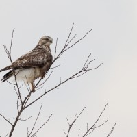 Winter Raptor Survey – Snow Shoe, PA 2013