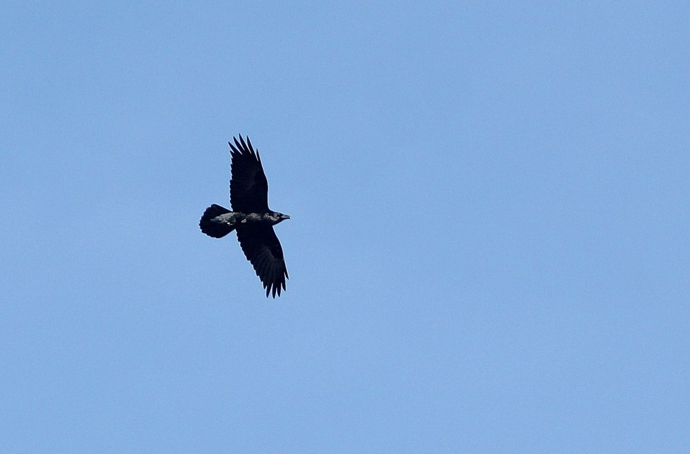 Common Raven - a nice addition to any winter day. (Photo by Alex Lamoreaux)