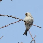 Hoary Redpoll and WRS Part 2