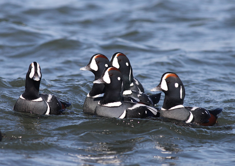 Harlequin Duck males