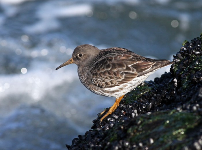 Purple Sandpiper