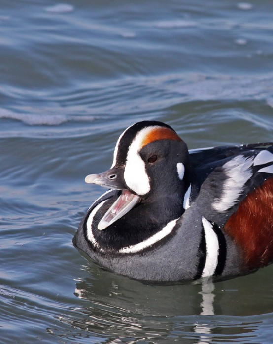 laughing Harlequin Duck