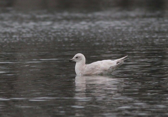 Iceland Gull at Tullytown, PA (Photo by Alex Lamoreaux)