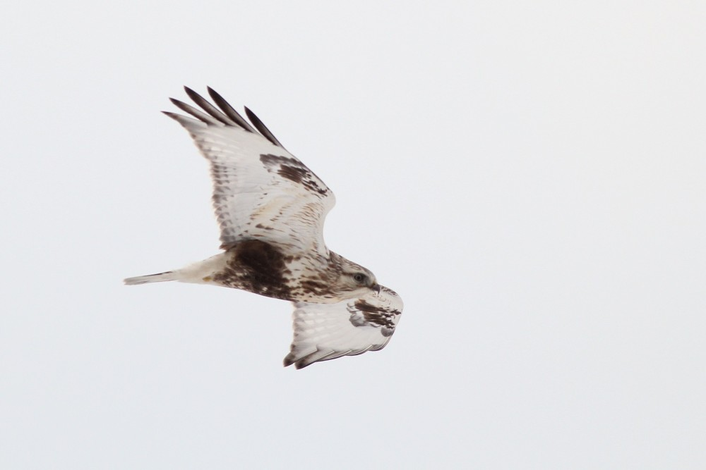 A Rough-legged Hawk that I saw during my Winter Raptor Survey (Photo by Alex Lamoreaux)
