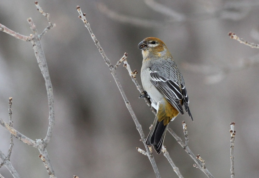 One of three Pine Grosbeaks at the Collins Landing rest area - a lifer for most of the birders on our trip! This bird is a female because of the yellowish wash on its head and rump. (Photo by Alex Lamoreaux)