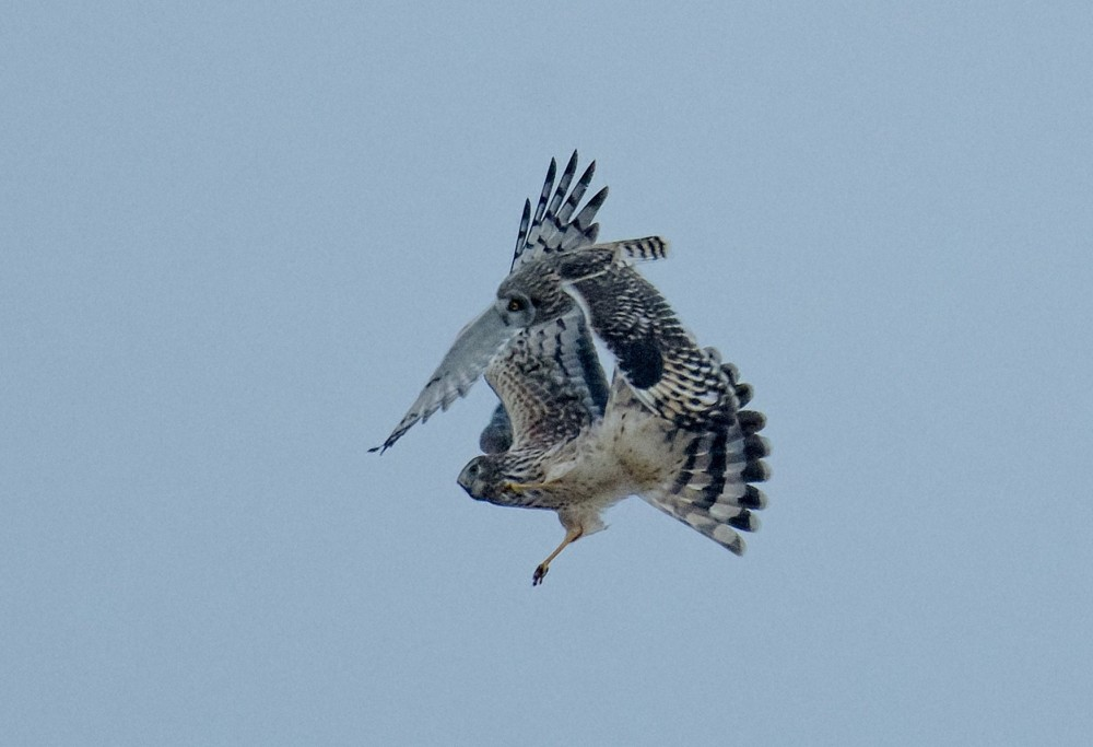 Short-eared Owl vs Northern Harrier at Middle Creek WMA. (Photo by Bob Hench)