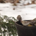 A three redpoll taxa day in PA