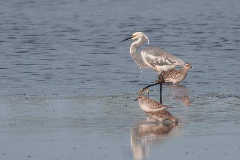 Merritt Island mystery heron (Photo by Ann Gaillard)