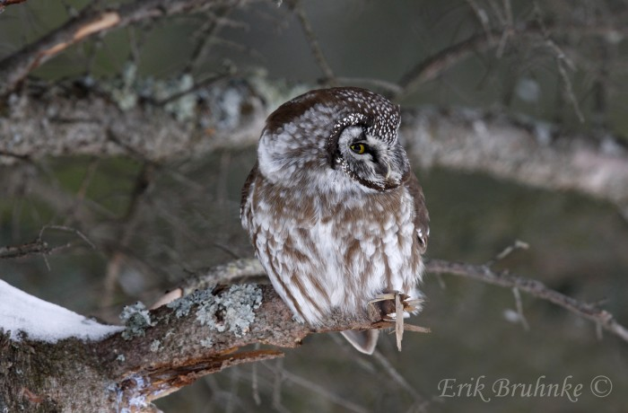 A Boreal Owl sits quietly and keeps watch over the snow.