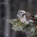 A Spectacle of Boreal Owls