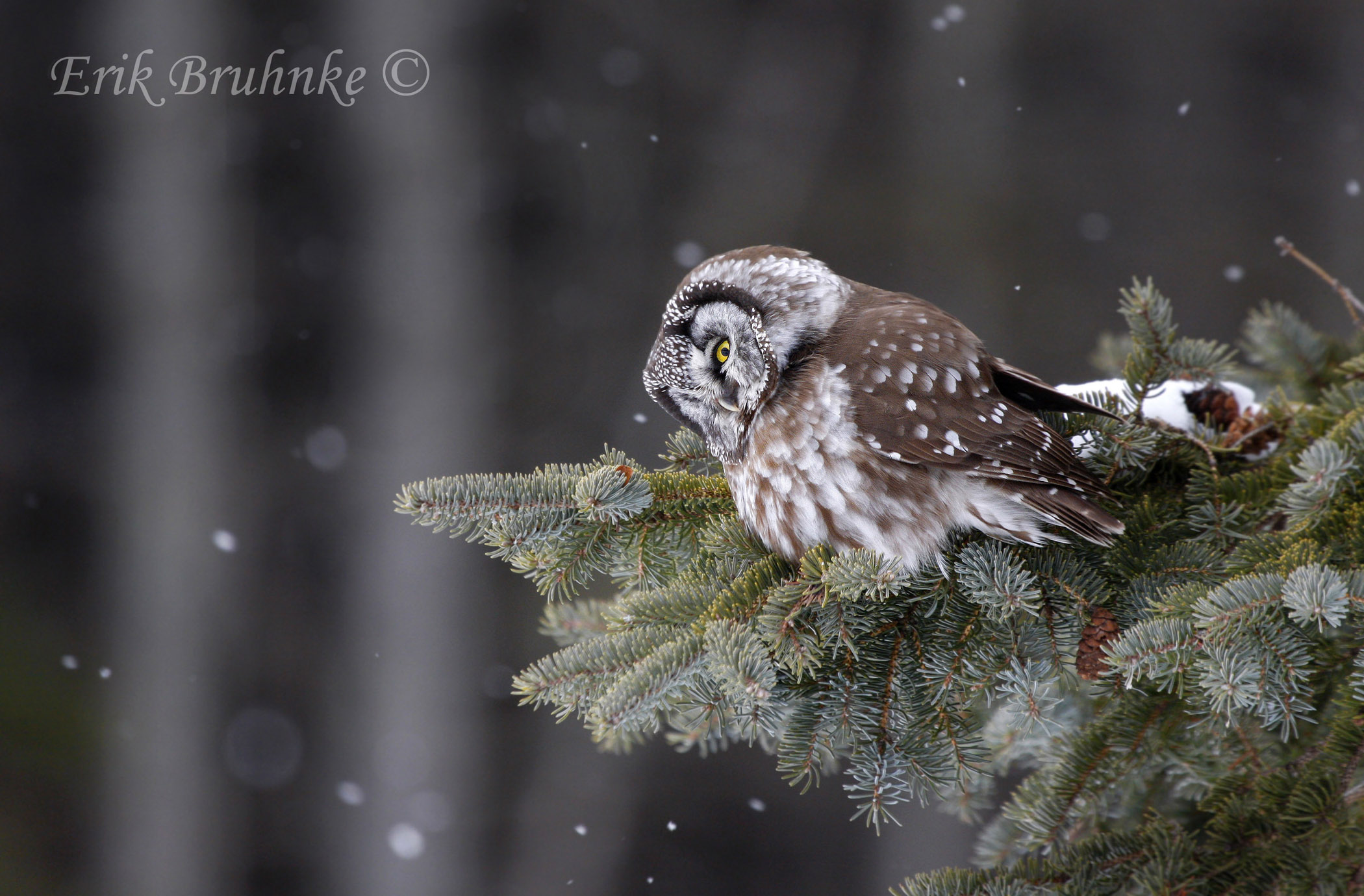 Here is a Boreal Owl, tilting its head, and listening carefully for tiny-footed rodents scurrying within the snow beneath this bird