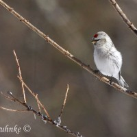 Hoary Redpoll (female)