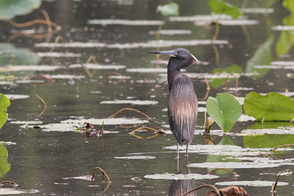 Tricolored Heron in breeding plumage (Photo by Alex Lamoreaux)