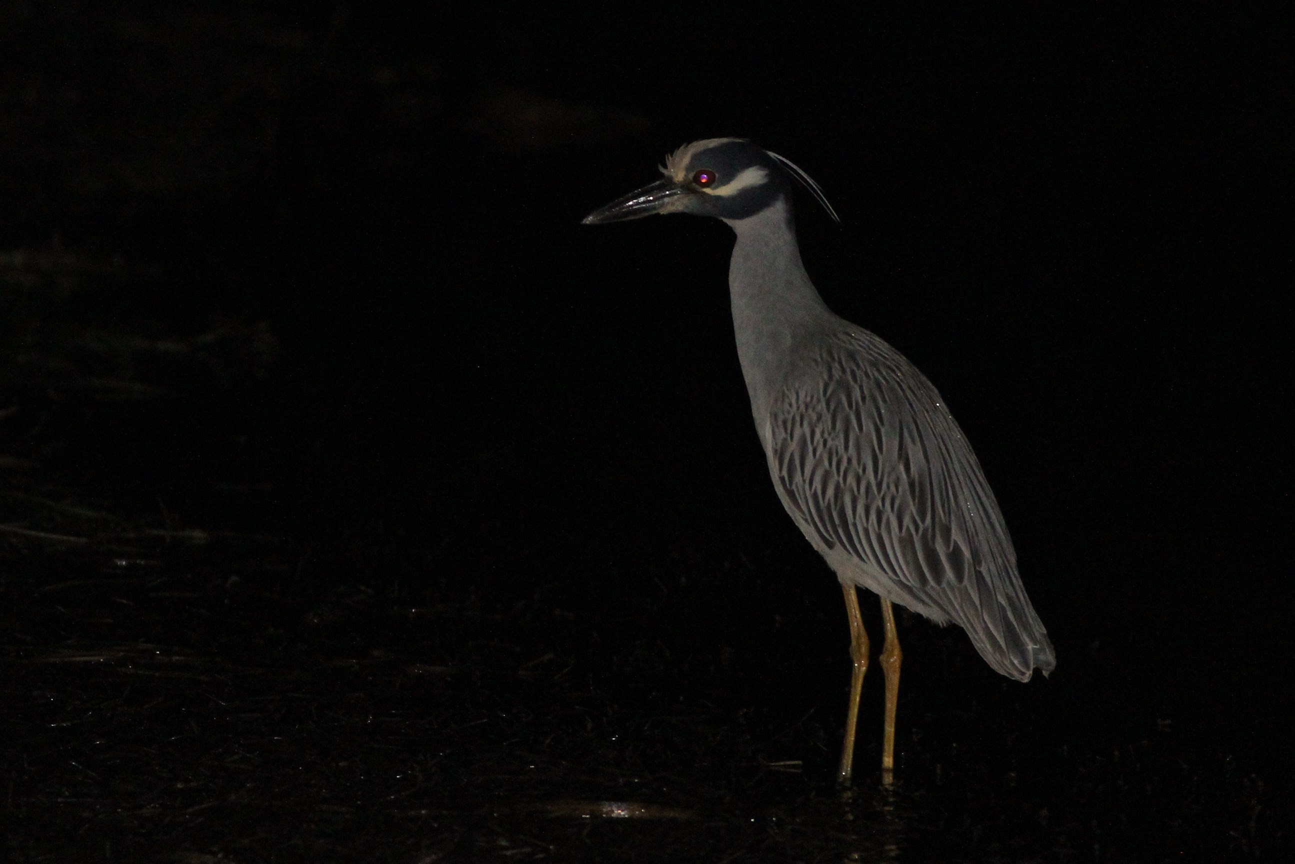Yellow-crowned Night-Heron on Big Pine Key, Florida. (Photo by Alex Lamoreaux)