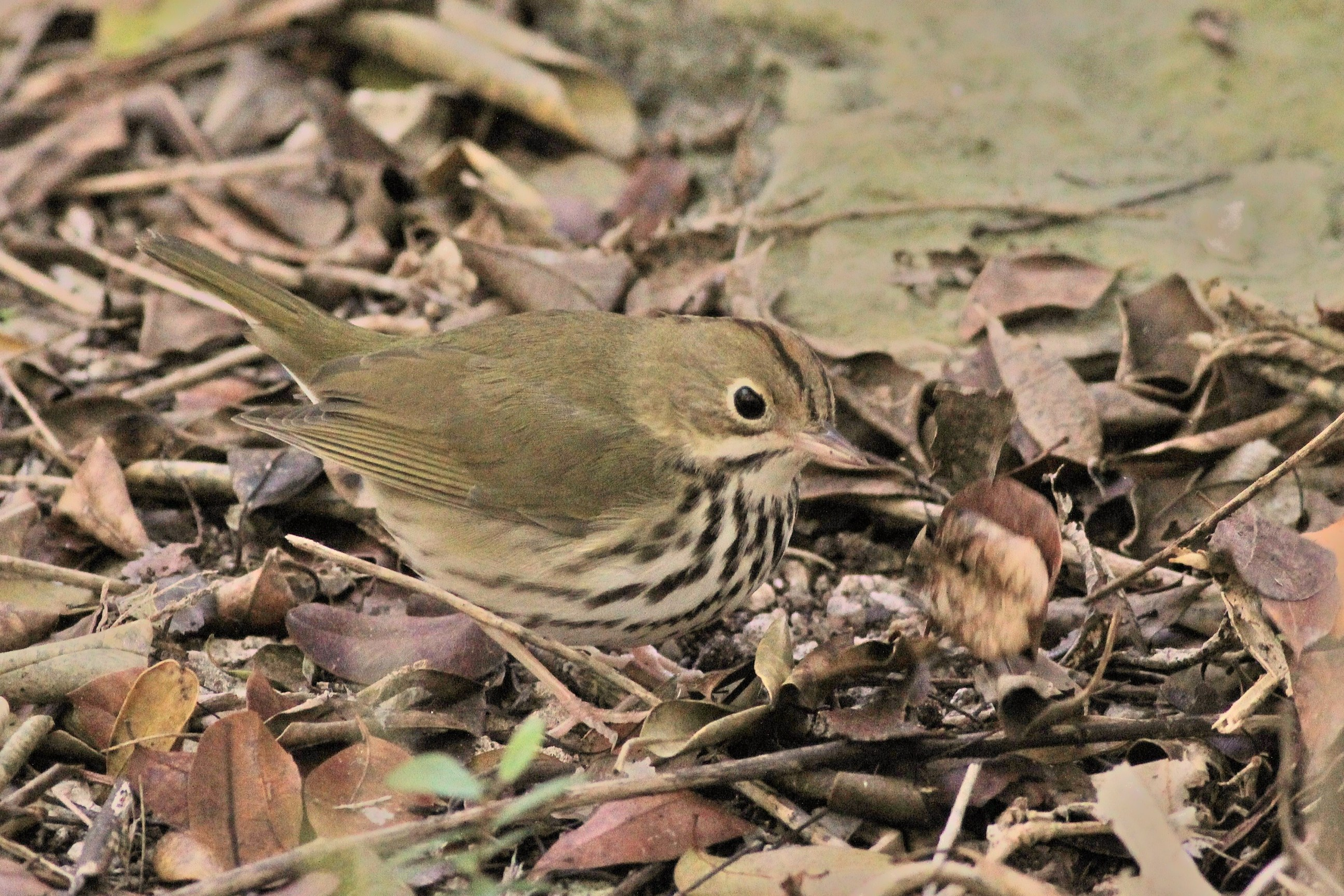 An Ovenbird Foraging In The Leaf Litter Around The Key West Botanical  Gardens. (Photo