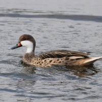 White-cheeked Pintail just in time for the 110th anniversary of Pelican Island NWR