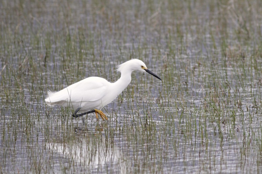 Snowy Egret in breeding plumage (Photo by Alex Lamoreaux)