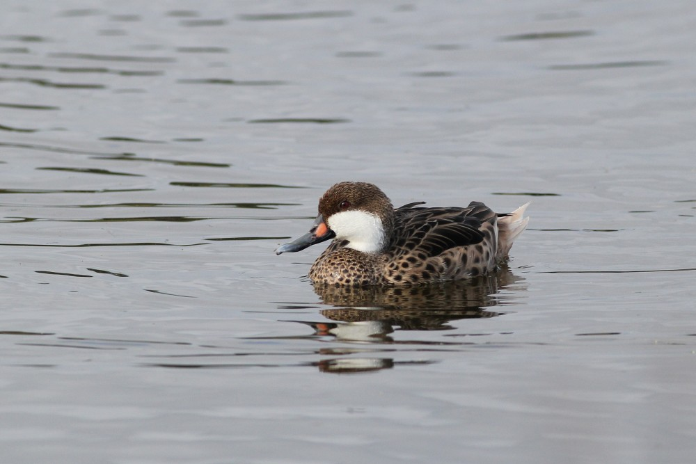 White-cheeked Pintail at Pelican Island NWR. (Photo by Alex Lamoreaux)