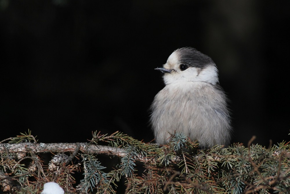 Gray Jay (Photo by Alex Lamoreaux)
