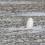 Second time's the charm! – Snowy Owl in St. Catharines, Ontario