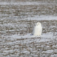Second time&#8217;s the charm! &#8211; Snowy Owl in St. Catharines, Ontario