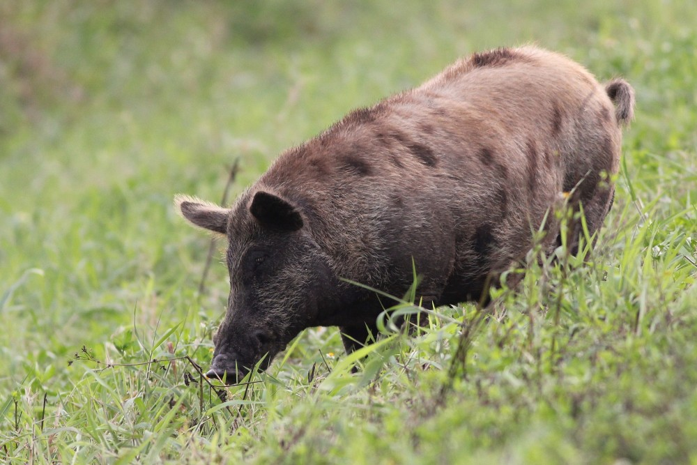 Wild Boar are one of many highly invasive species throughout the southeastern US. This guy was foraging along the road when we first entered the STA. (Photo by Alex Lamoreaux)
