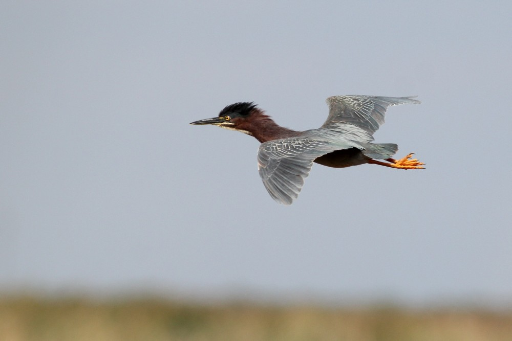 Green Heron in flight (Photo by Alex Lamoreaux)