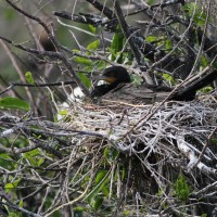 Neotropic Cormorant sitting on its nest - Note the bird&#039;s short bill, small head, overall small size, long tail, v-shaped corner of the mouth, and faint white-ish feathers along its lower mandible. (Photo by Alex Lamoreaux)