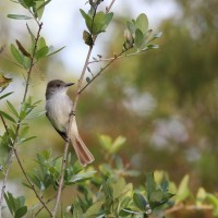 La Sagra&#039;s Flycatcher at Green Cay Nature Center (Photo by Alex Lamoreaux)