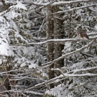 Find the Northern Saw-whet Owl and the Boreal Owl