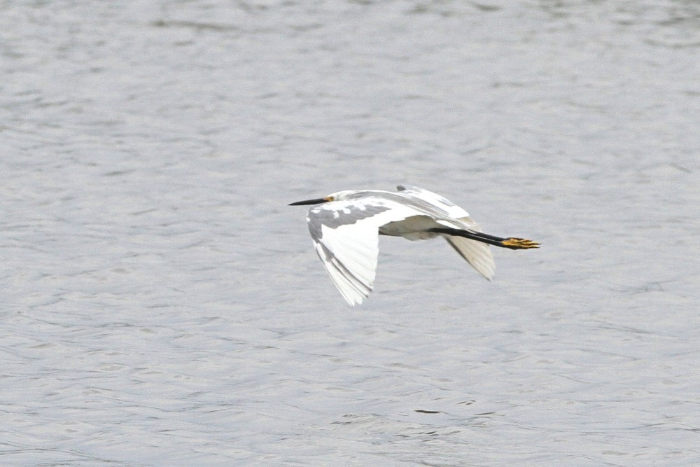 Merritt Island mystery heron in flight (Photo by Jennifer Zelik)