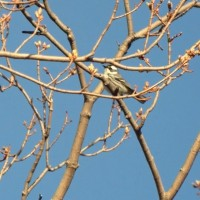 A successful chase: Black-throated Gray Warbler