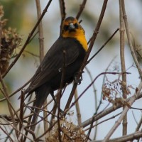 Montour County, PA – Yellow-headed Blackbirds