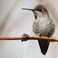 Delaware Anna&#8217;s Hummingbird &#8211; Then and Now
