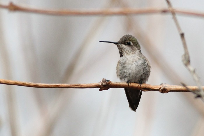 The Delaware hummingbird back in January. (Photo by Alex Lamoreaux)