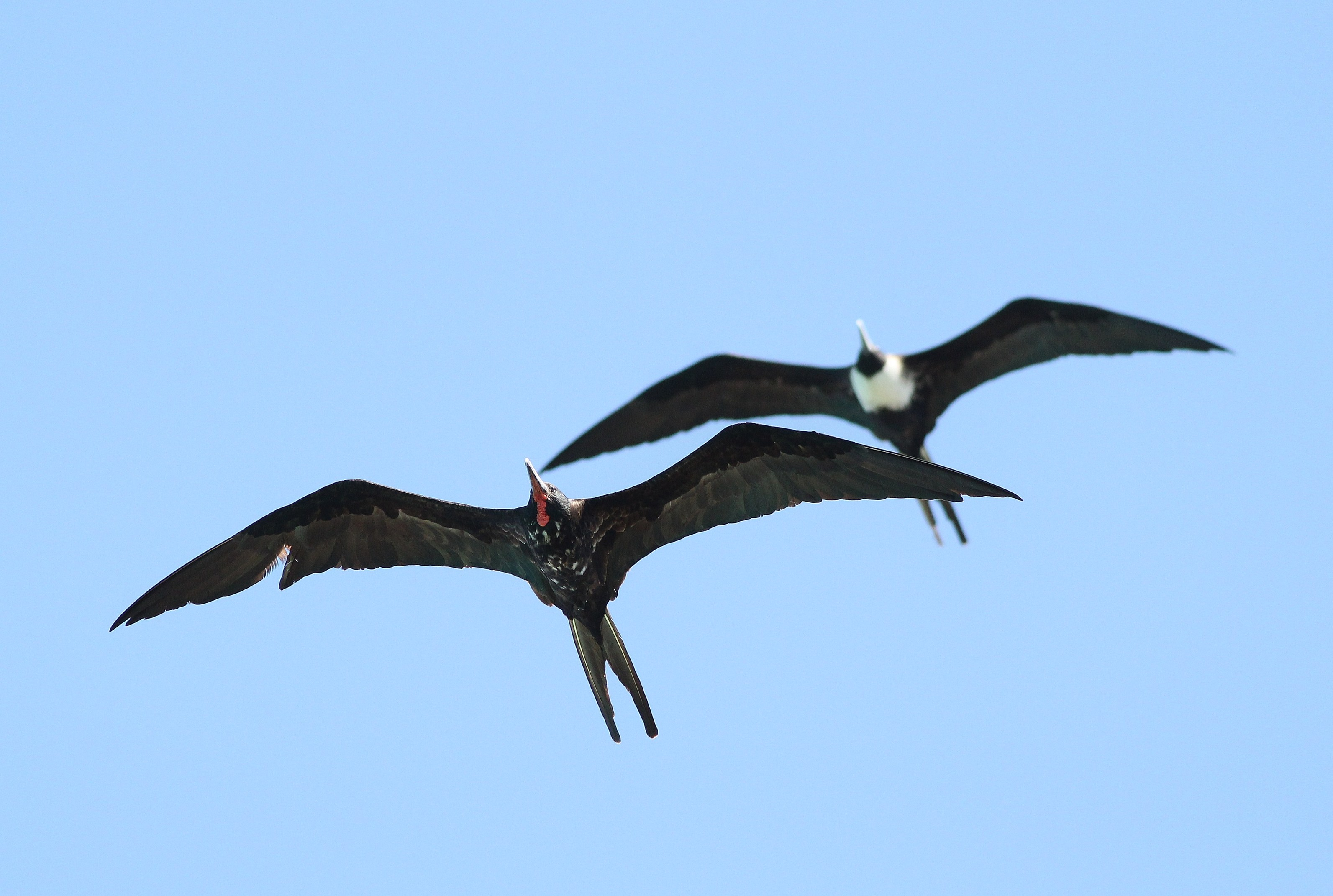 Magnificent frigatebird range - photo#9