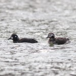 Harlequin Duck and Presque Isle Migrants