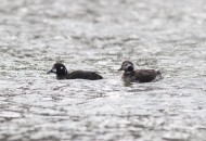 The continuing odd couple - immature male Harlequin Duck and female Long-tailed Duck. (Photo by Alex Lamoreaux)