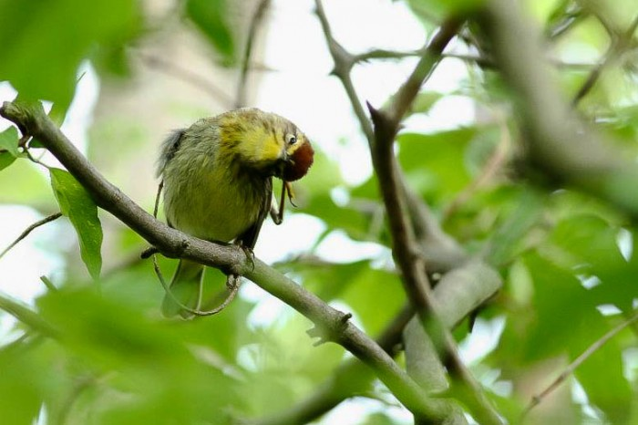 """What is with all the people in Ohio?"" Palm Warbler - Magee Marsh, Ohio (Photo by Anna Fasoli)"