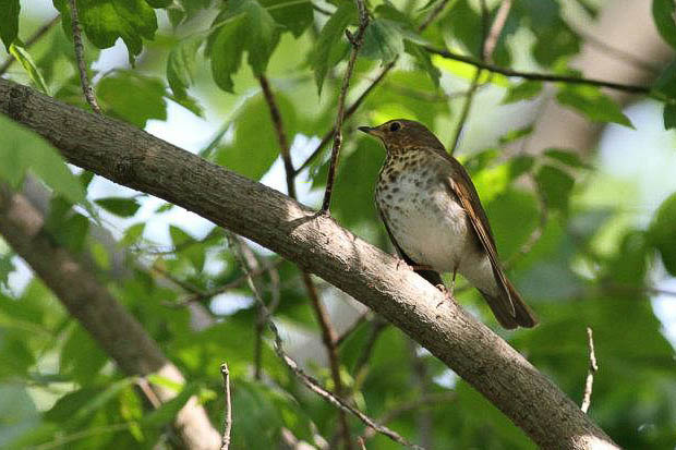 Swainson's Thrush - Magee Marsh, Ohio (Photo by Anna Fasoli)