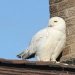 Snowy Owl &#8211; Armstrong County, PA