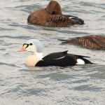 King Eider and Dickcissel – Cape May County, NJ
