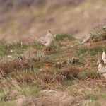 Sharp-tailed Grouse Lek and birding near Weiser, Idaho