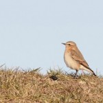 Northern Wheatear – Fox Point State Park, Delaware