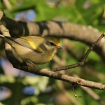 Scotia Barrens – Lawrence's Warbler?