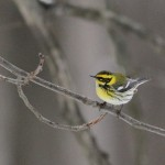 Townsend&#8217;s Warbler in PA!