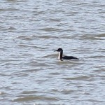 BESP – Red-necked Grebe, etc